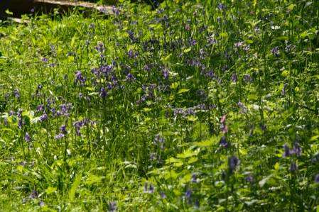 20150508-2 Bluebells in our woodland glade Hyacinthoides non scripta.JPG