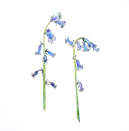 bluebells illustration.jpg
