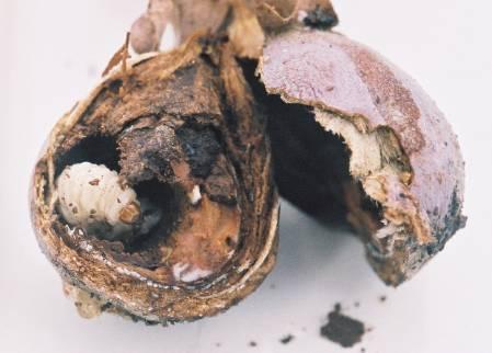 A  ramezei larva.jpg