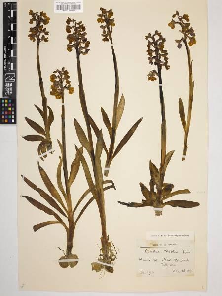Anacamptis morio - herbarium.jpg