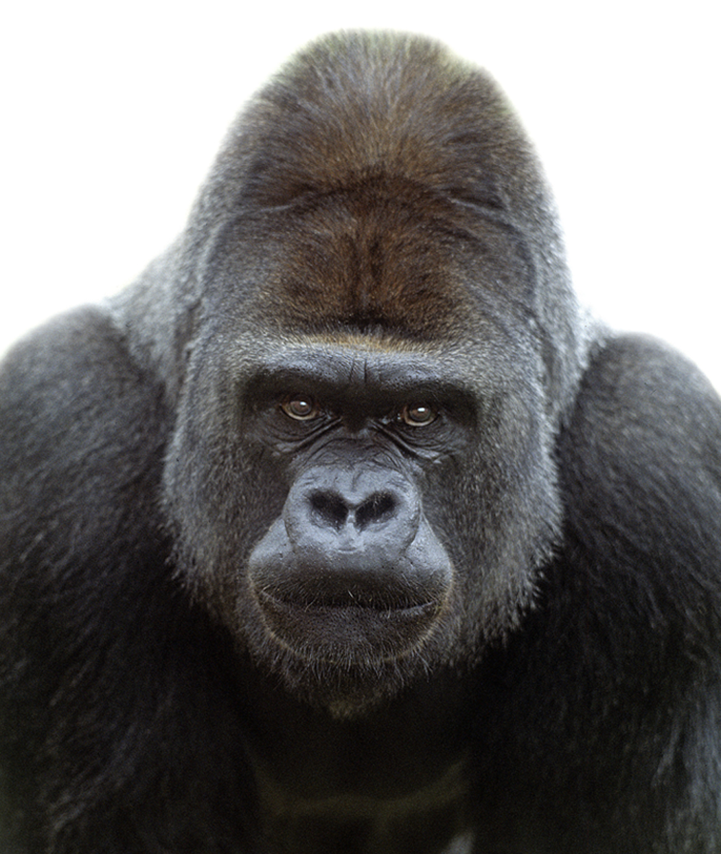 Gorilla face - photo#15