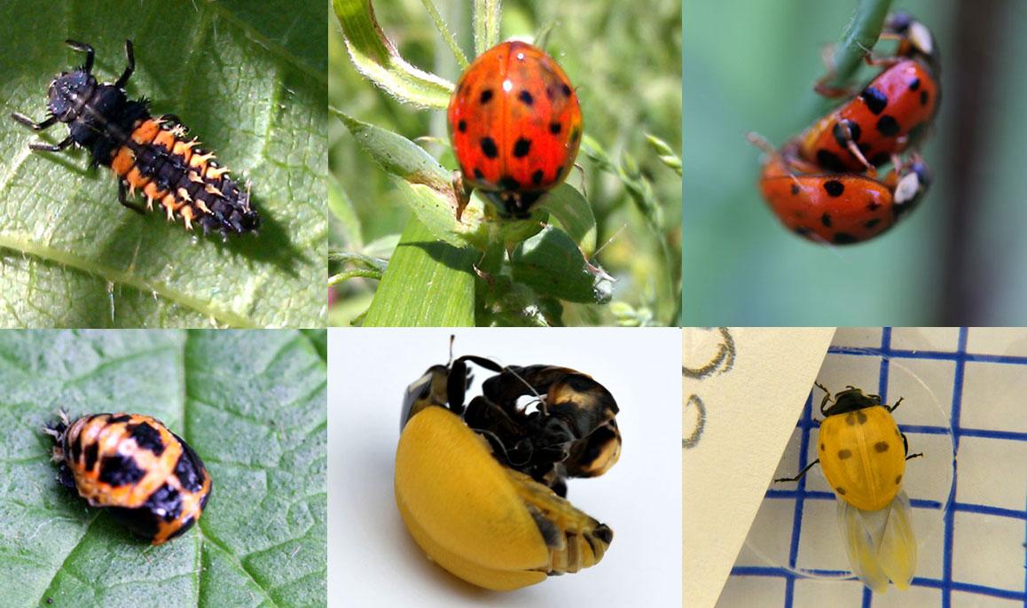 ladybirds - photo #43