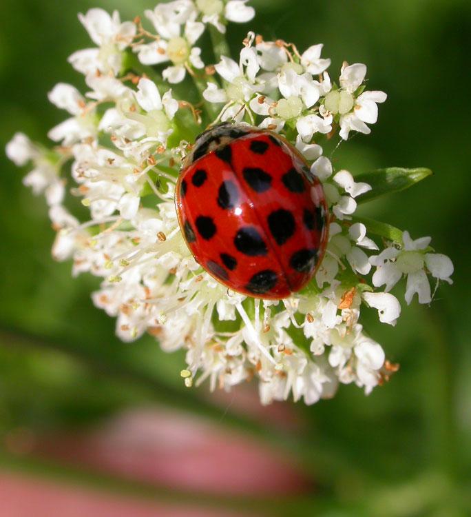 ladybirds - photo #4