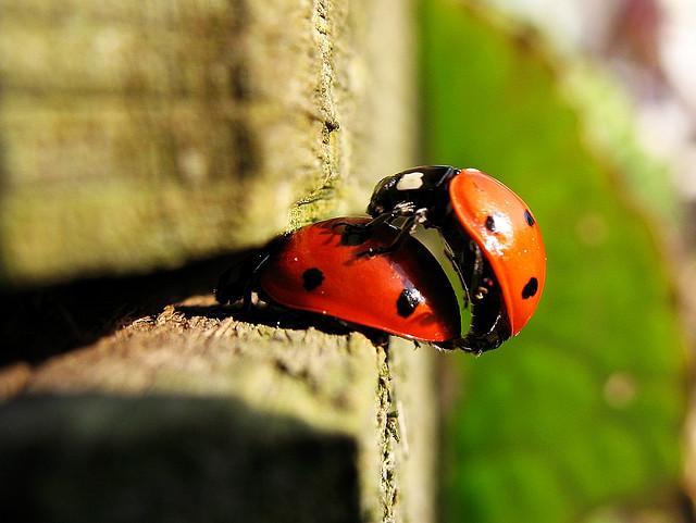 mating-ladybird-beetles-creative-commons-copyright-nutmeg66.jpg