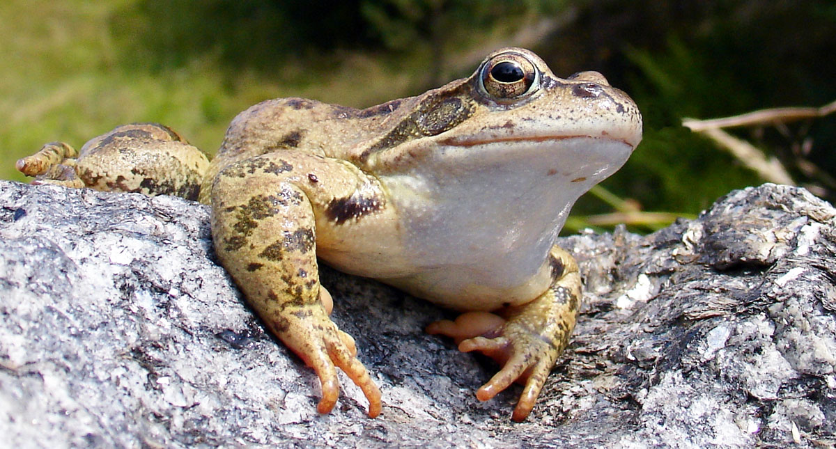 Frog Or Toad In My Garden Garden Ftempo