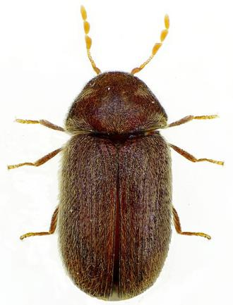 Dorsal View Lateral Ventral Biscuit L And Furniture Beetle R