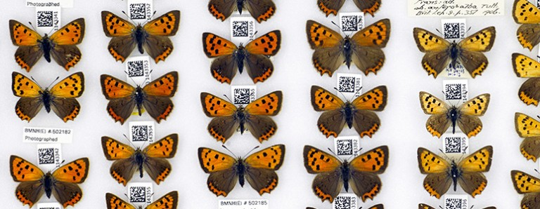 lycaena-phlaeas-butterfly-hti-double