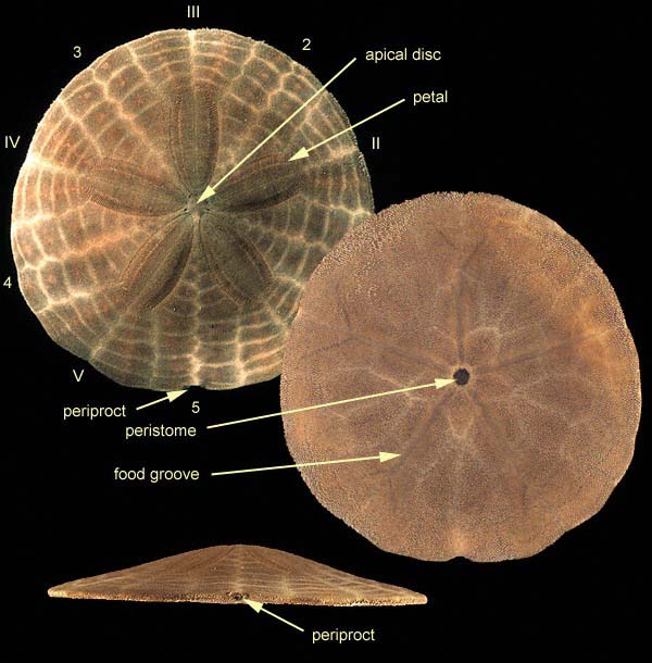 the echinoid directory natural history museum : sand dollar diagram - findchart.co