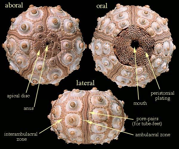 The Echinoid Directory - Natural History Museum