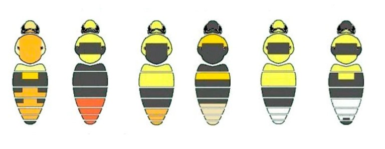 bee-id-guide-crop-hti-double