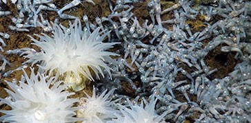 shrimp-and-anemone-beebe-hydrothermal-vent-hti-top