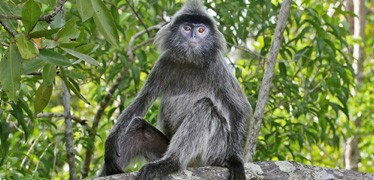 silvered-leaf-monkey-hti-top