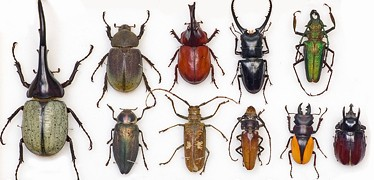 entomology_beetles-374-180