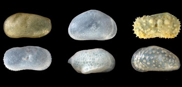 ostracod_collection-374-180