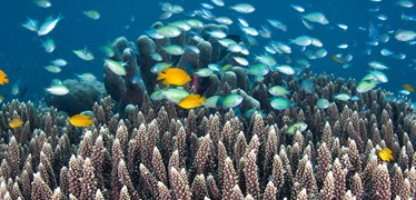 chromis-viridan-fish-coral-reef-hti-top