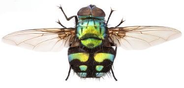 formosia-moneta-parasitic-fly-hti-top