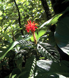 rainforest flower