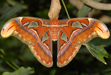 Atlas moth, 'Attacus atlas'