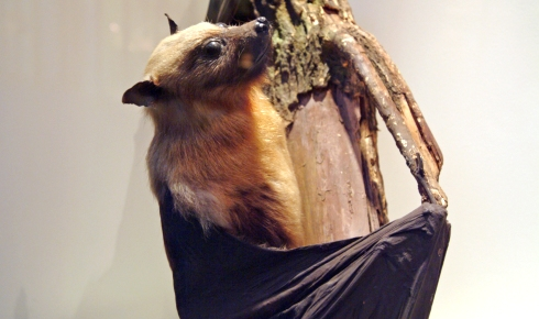Fruit bat, one of the bats on display.
