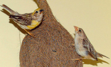Two baya weavers and their nest.