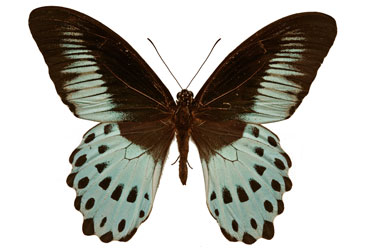 Blue peacock or blue mormon butterfly, 'Papilio polymnestor'