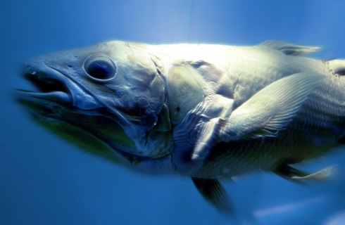 The coelacanth, a fish that was thought to be extinct.
