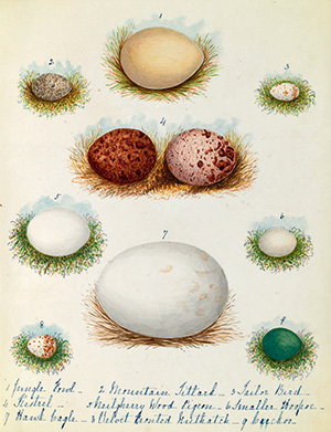 Various bird eggs by Margaret Cockburn