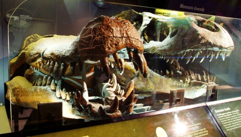 Giant crocodile skull, with T.rex skull next to it.