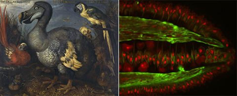 Left: Roelandt Savery's famous dodo painting. Right: Buddenbrockia worm cell