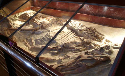 Half-buried Edmontosaurus skeleton lying in its death position.