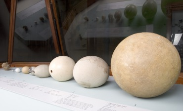 Our display shows the variety of sizes of bird eggs