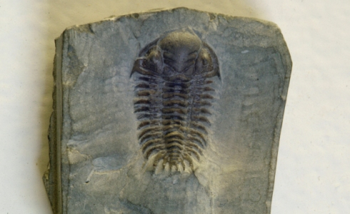 Trilobite fossil, part of the Fossils from Britain display.