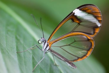 Glasswing butterfly, 'Greta morgane oto'