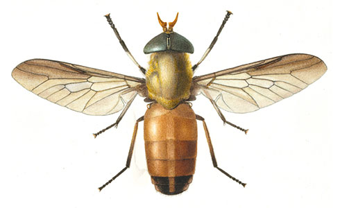 Horse fly, Tabanus liventipes, by Grace Edwards