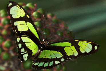 Green longwing or scarce bamboo page butterfly   Philaethria dido Tropical Rainforest Butterflies
