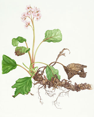 Bergenia cordifolia, elephant-eared saxifrage, by Norma Gregory