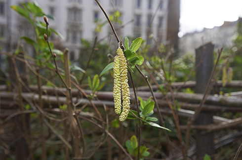 Hazel catkins sprouting in hedge rows