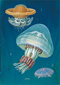 Three species of jellyfish, by G W Dalby c1960.