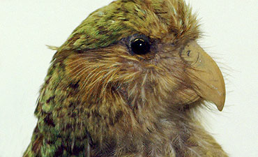 The kakapo, largest and among the most rare of all parrots.