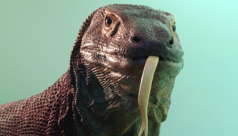Head of a Komodo dragon