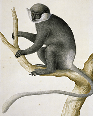 Purple-faced langur, Trachypithecus vetulus