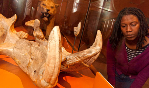 Lion remains display