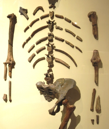 Bones from the tiny australopithecine skeleton called Lucy.