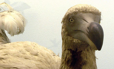 The extinct Mauritius dodo.