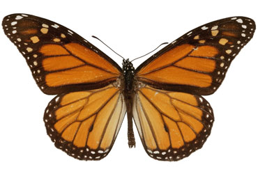 Monarch butterfly, 'Dannaus plexippus'