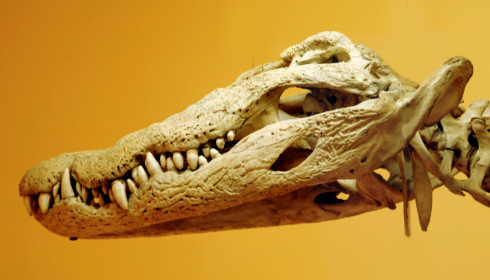 Nile crocodile skull.