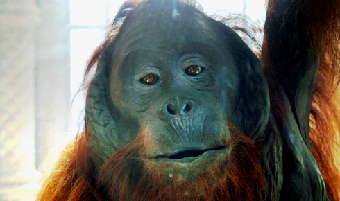 Face of an Orang-utan, one of the great apes.