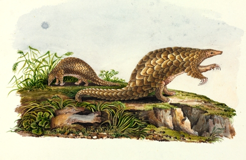 Indian pangolin, Manis crassicaudata
