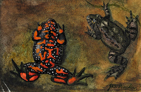 European fire-bellied toad, Bombina bombina, by Joan Procter