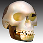 Piltdown man reconstruction